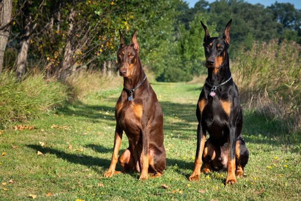 2. kép - A legjobb házőrző kutyafajták 2. helyezettje: a doberman pinscher