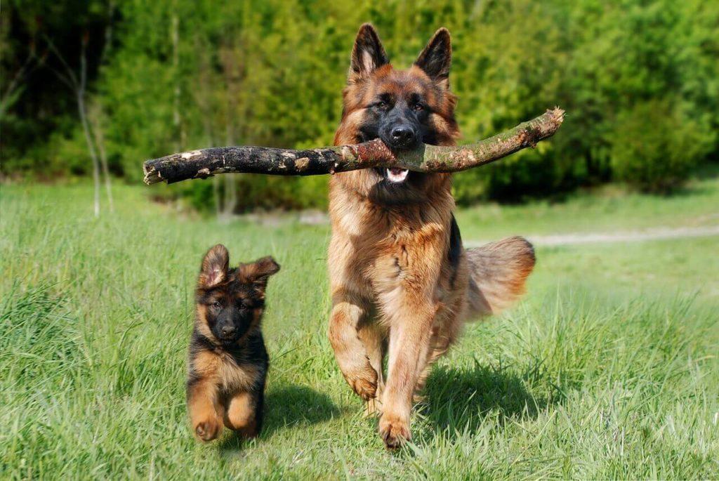 Legjobb házőrző kutyafajták